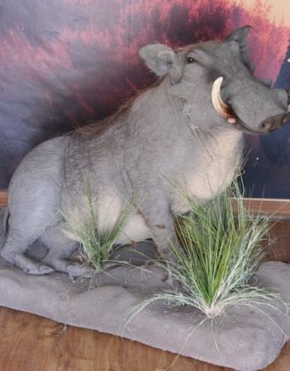 Full Mount Warthog Sitting