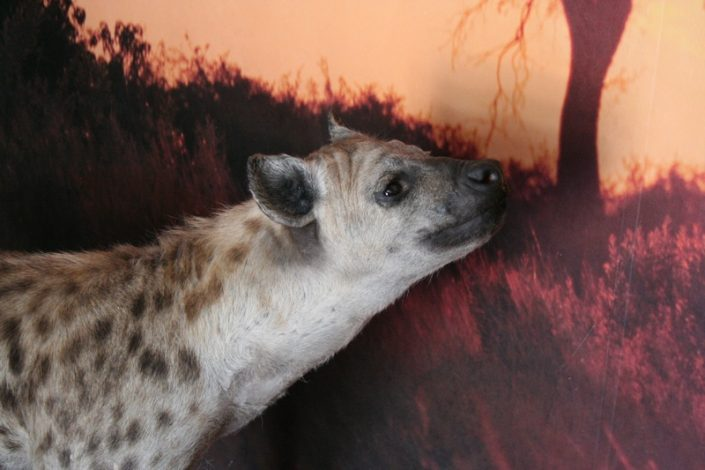 Sniffing Hyena