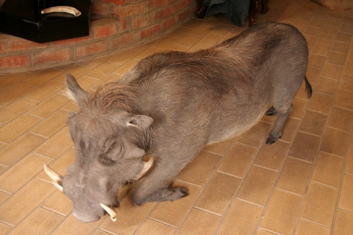 Warthog Feeding Free Standing