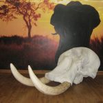 Elephant Skull and Replica Tusks