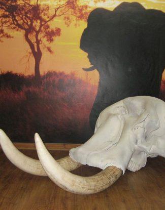 Elephant Skull and Replica Tusks