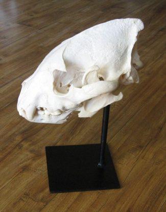 Hyena Skull on Metal Pedestal