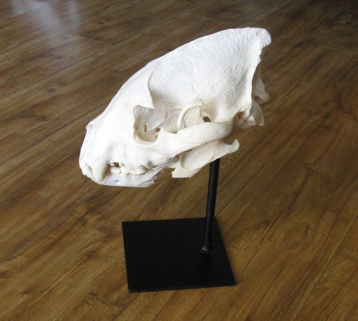 Hyena Skull on Metal Pedestal