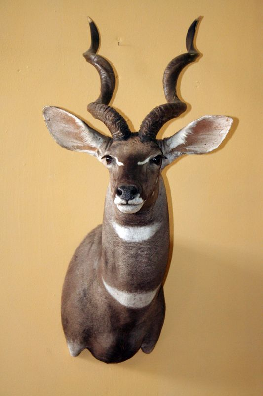 Lesser Kudu Shoulder Mount