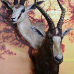 Blesbok Springbok Combo Pedestal