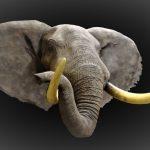Elephant Shoulder Mount Trunk Up