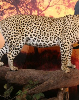 Leopard Tree Mount