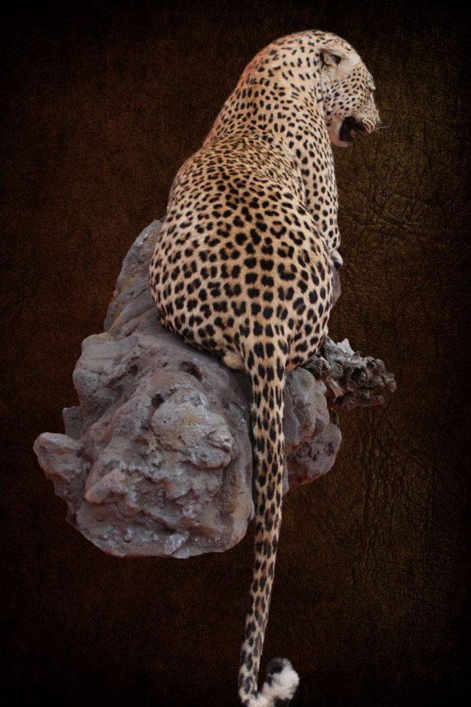 Leopard Lying On Rock
