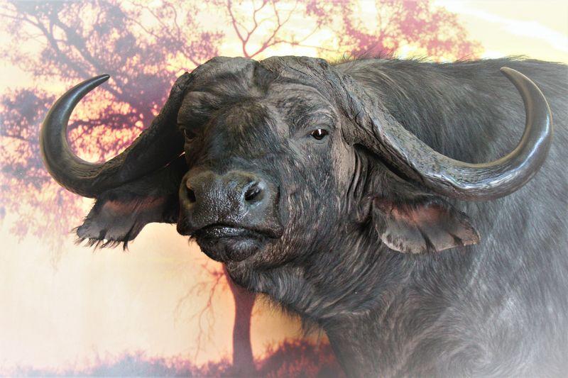 Buffalo Pedestal Closeup