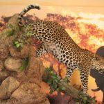 Leopard On Pedestal Climbing Down Log