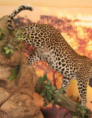 Leopard On Pedestal Climbing Down Log