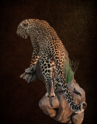 Leopard Standing On Rock Agressive