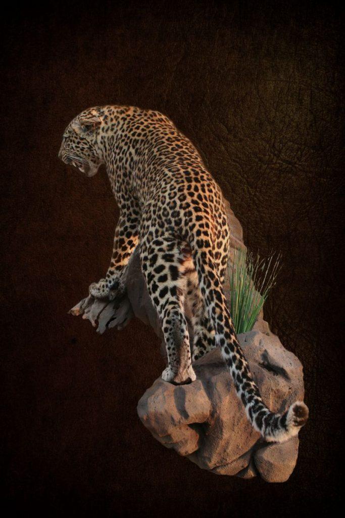 Leopard Standing On Rock Agressive